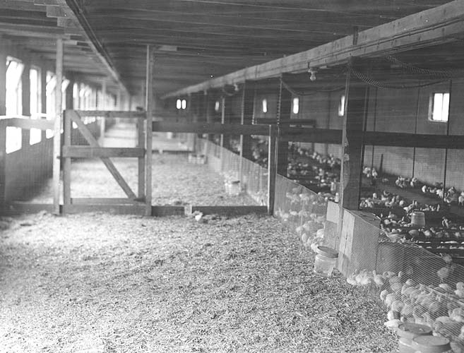 Rockingham, Co., VA, turkey farm of Enswiler and Brown