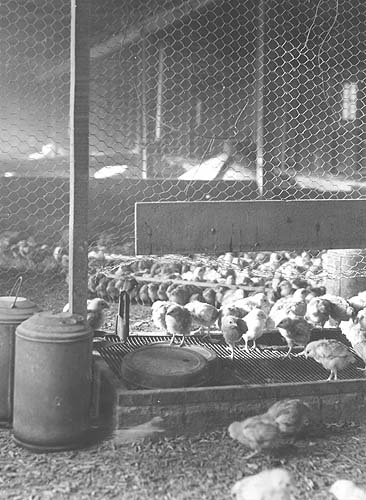 Page Co., VA, overcrowded poultry brooder house