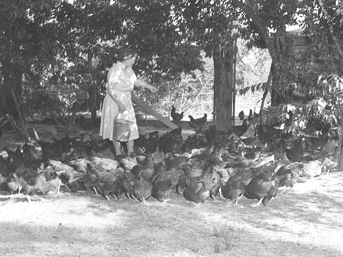 Lunenburg Co., VA, flock being fed by Mrs. Epes