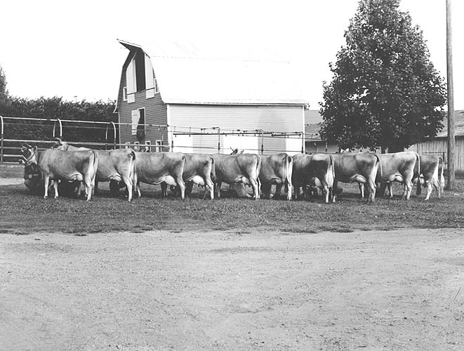 Dairy herd at VPI