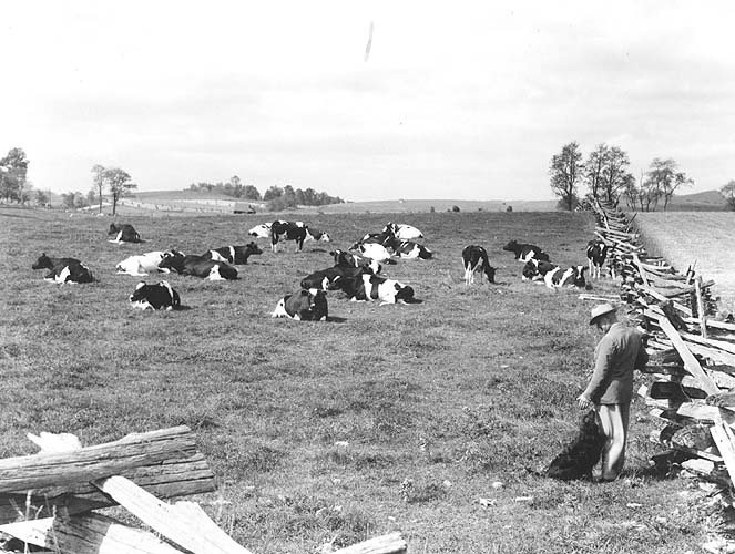 L.J. Crowgey and Holstein herd