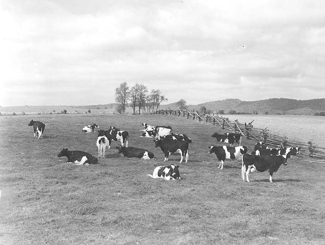 Holsteins on farm of L.J. Crowgey