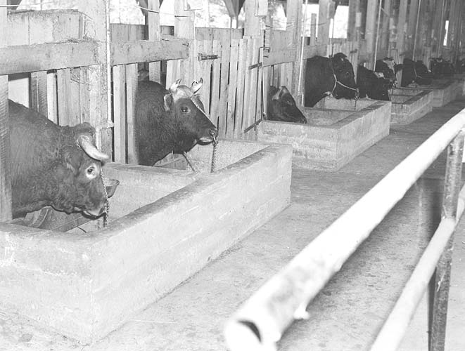 Bulls at artificial breeding center