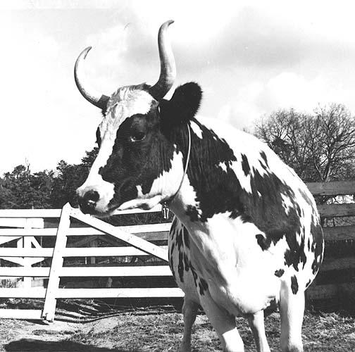 Ayshire cow