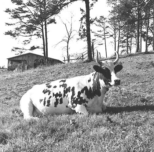Ayshire cows